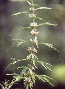 生薬-益母草