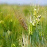 生薬-麦芽