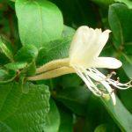 生薬-忍冬-金銀花