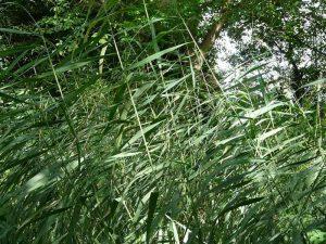 生薬-葦根