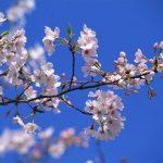 風景65生薬-桜皮