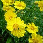 生薬-菊花