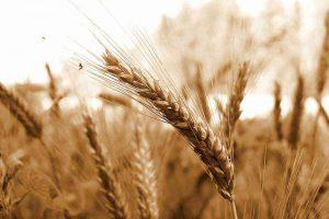 生薬-小麦